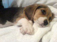 little Beagle puppy