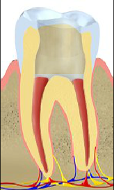 central portion of the tooth