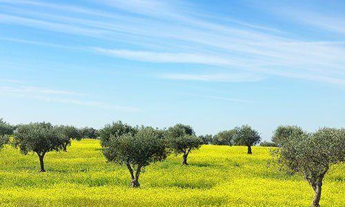 Alberi tra fiori gialle sotto il cielo blu