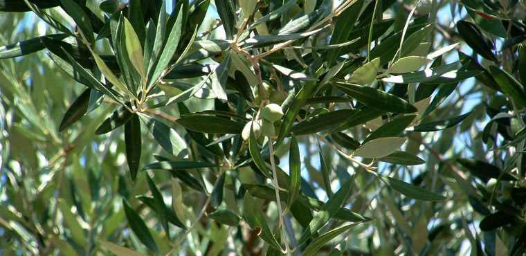 Per un buon olio, buone olive e noi abbiamo curato le nostre come se fossero i nostri figli