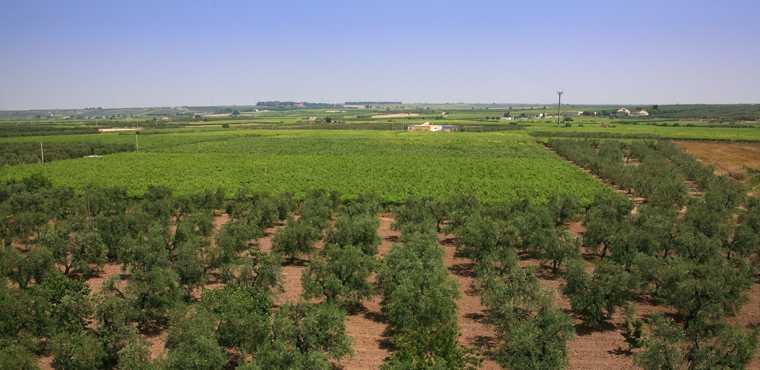 Nei campi si alternano degli oliveti con i vigneti