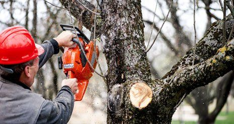 Worker cutting trees with gasoline powered chainsaw