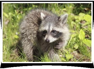 raccoon removal San Antonio, TX