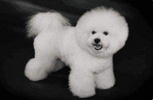 Bichon Frise breed of dog