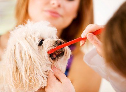 Pet Dental Care — Veterinarian Brushing Dog's Teeth in Livermore, CA