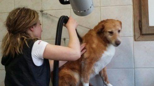 una donna che asciuga il pelo di un cane marrone