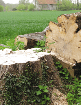 Thinning and reduction - Hemel Hempstead, Hertfordshire - A J Howarth Tree Surgeon - cutting tree