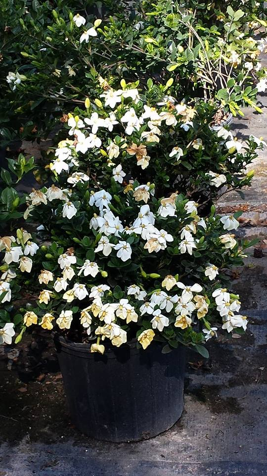 Gardenias Plant Nursery Gainesville Fl