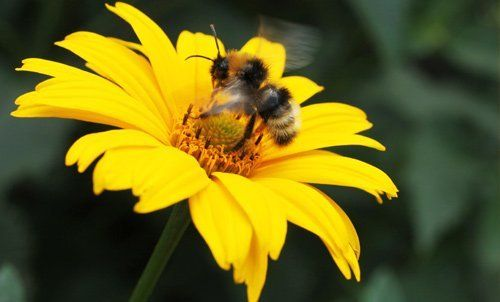 Close up of a bee sitting on yellow flower