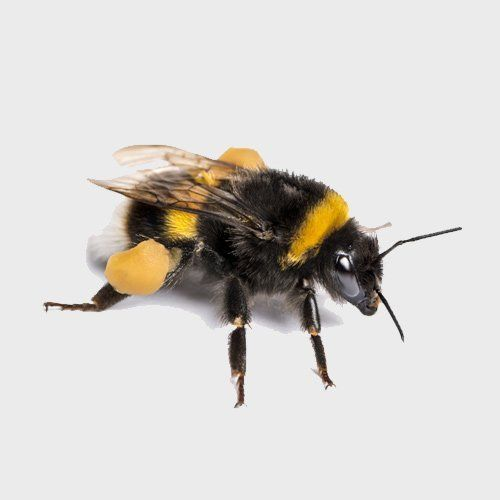 Bumblebee | NZ Bumblebee Conservation Trust | New Zealand