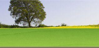 A healthy oak tree behind a field of rapeseed