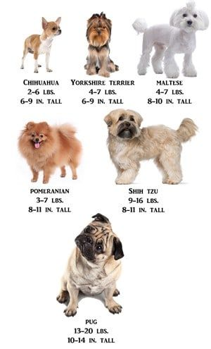 Shih Tzu Information Center Shih Tzu Size