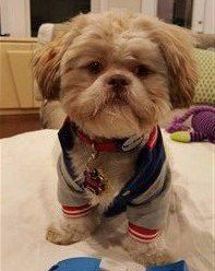 shih-tzu-wearing-clothes