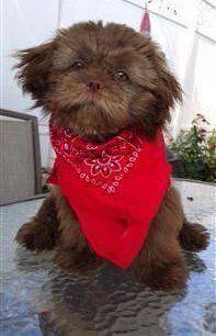 Shih Tzu wearing bandana