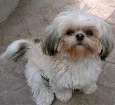 White Shih Tzu Puppies And Dogs Info And Photos