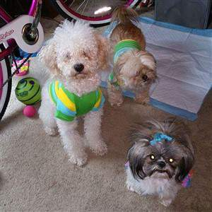 2 shih tzu mixes