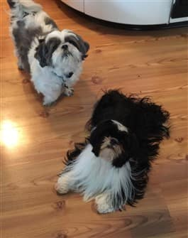 2-very-fluffy-shih-tzu-dogs