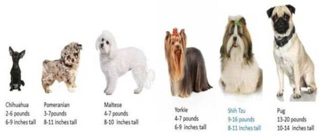How Much Do Small Dogs Typical Weigh