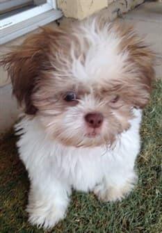 Shih Tzu Puppy Teething