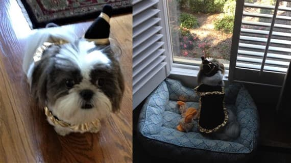 Shih Tzu in magical wizard costume & Shih Tzu Halloween Costumes