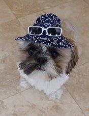 shih tzu tri color male with hat