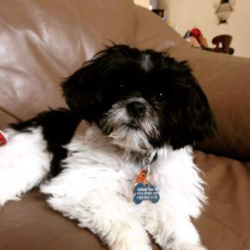 Shih Tzu House Training Step By Step Finding Success