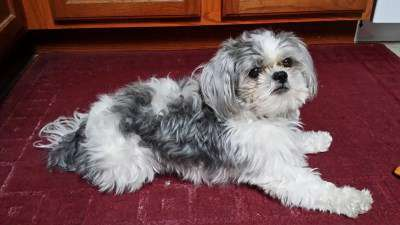 5 year old male Shih Tzu