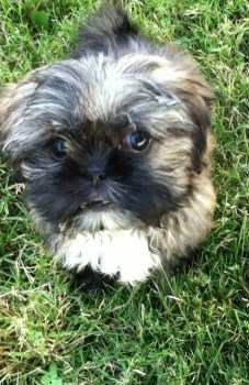 cute Shih Tzu pup on green grass