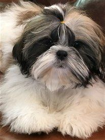 Ohio Shih Tzu breeder