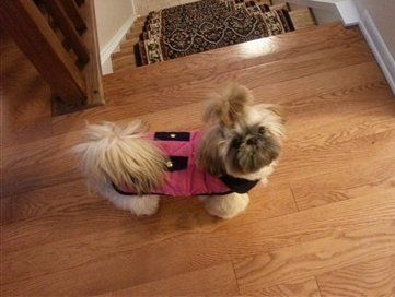 shih tzu wearing winter coat