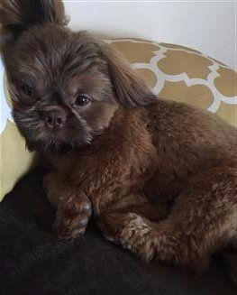 example 3- brown shih tzu puppy