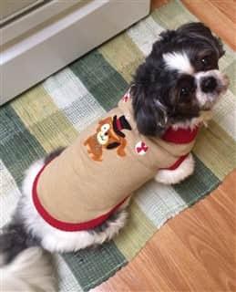 Shih Tzu in a sweater
