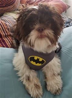 Shih Tzu on a sofa, wearing a batman harness