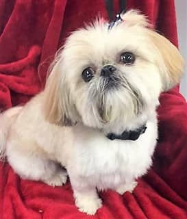 Shih Tzu posing with a red background