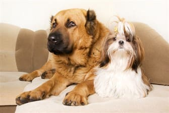 a-shih-tzu-with-larger-dog