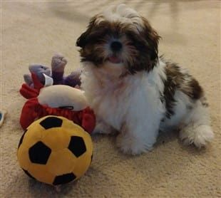 Expected Cost Of A Shih Tzu Puppy