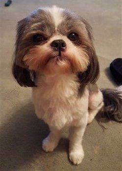 shih-tzu-shaved-long-tail-and-ears