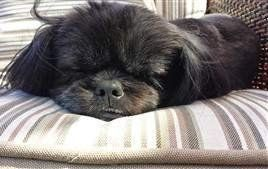 Solid Brown And Solid Black Shih Tzu Dogs