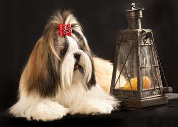 adult Shih Tzu with long coat