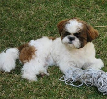 adult-shih-tzu-outside