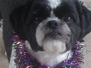 black and white shih tzu, male