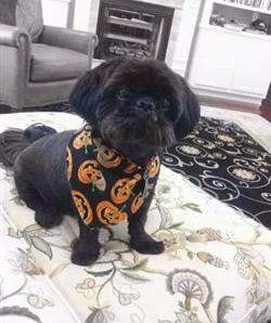 fully black Shih Tzu