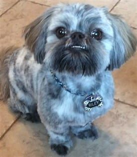 Shih Tzu Information Center Color Explanation