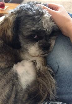 Brindle Shih Tzu Information And Photos