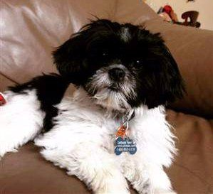 black white shih tzu black and white shih tzu facts and photos 4464