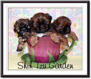 Shih Tzu breeder in California