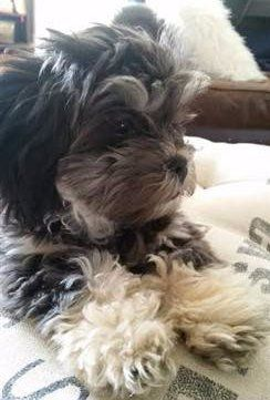 black-gray-white-tri-color-shih-tzu