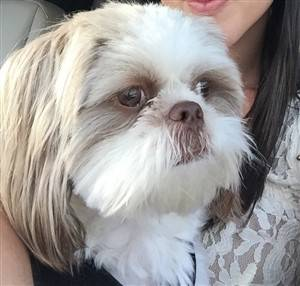 Liver Colored Shih Tzu Dogs Facts And Photos