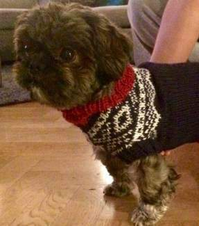 Shih Tzu with warm clothes on