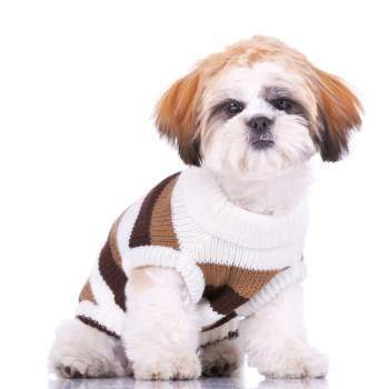 cute Shih Tzu puppy